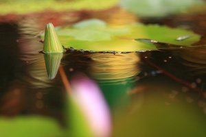 lotus_flower__by_cococinema-d5d1jtl