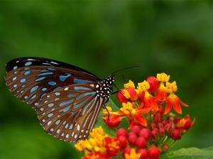 ButterfliesonFlowersPictures1da91e0b40a5460d33d16ca0969b7178