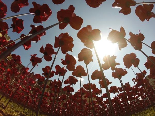 poppies-9